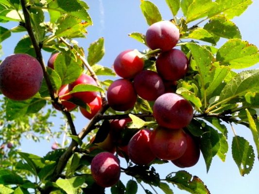 Edible Fruit